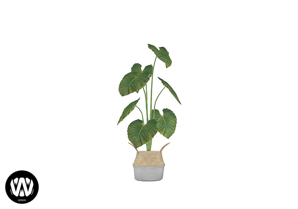 Crocus Plant
