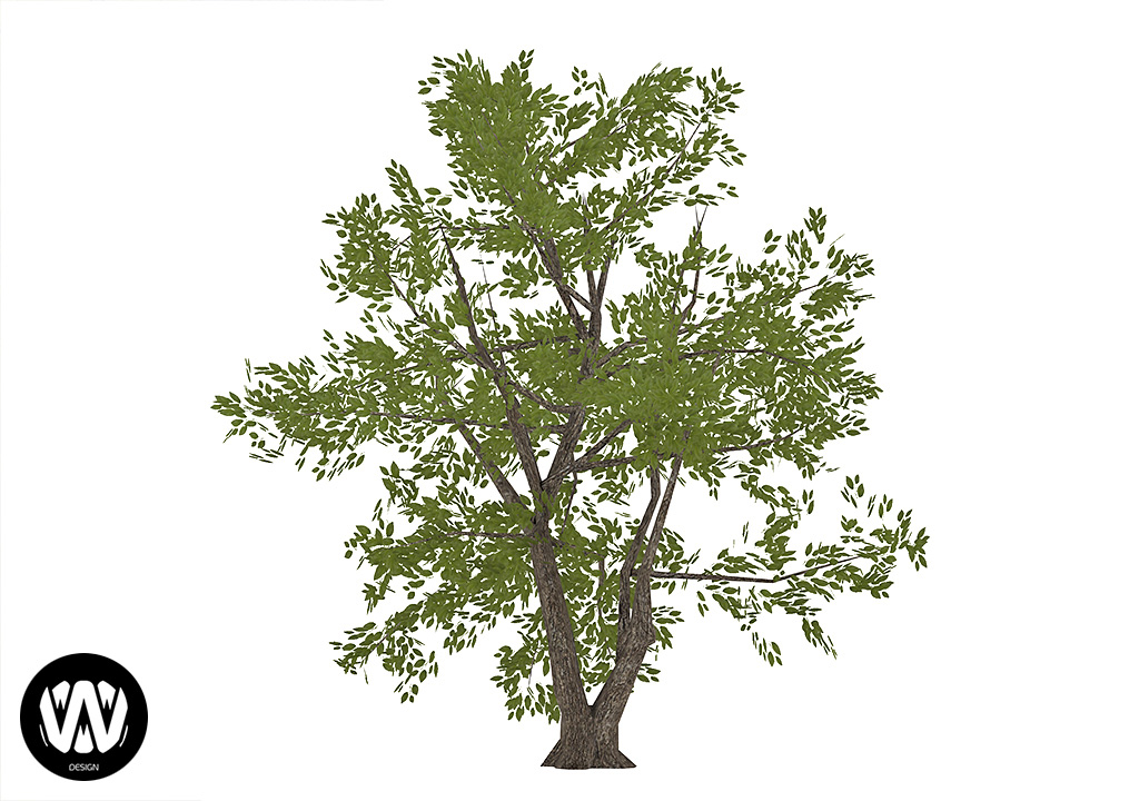 Persea Tree